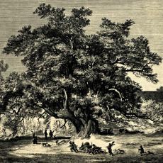 Královský javor na Šumavě - kresba prof. Františka Zvěřiny 1885