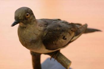 Na Archu Noemovu přilétne holub stěhovavý