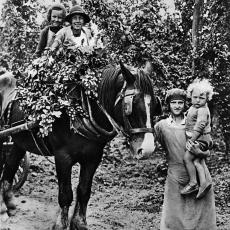 Česání chmele 1928